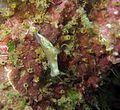 Gymnodoris alba, Koh Phangan.jpg
