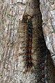 Gypsy Moth (Lymantria dispar) Caterpillar (35504810372).jpg