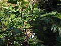 H20130909-9846—Berberis aquifolium—Katherine Greenberg (9780630806).jpg