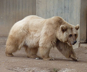 Syrian brown bear - A Syrian brown bear in Heidelberg Zoo, Germany.