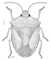 HEMI Pentatomidae Cuspicona simplex f.png