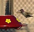 HUMMINGBIRD (8107266536).jpg