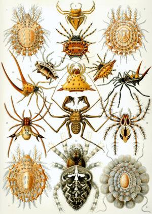 """Arachnid - """"Arachnida"""" from Ernst Haeckel's Kunstformen der Natur, 1904"""