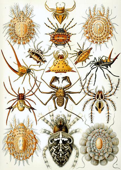 Файл:Haeckel Arachnida.jpg