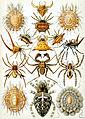 Haeckel_Arachnida