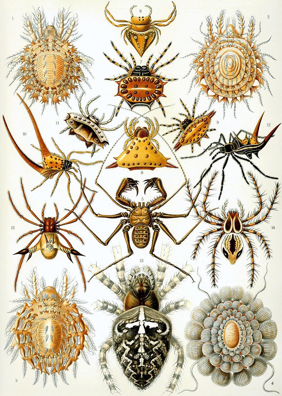 Haeckel Arachnida
