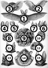 Haeckel Chipoptera big spots.jpg