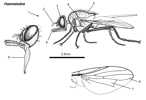 Haematobia adult lateral.png