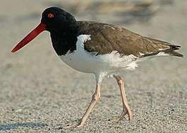 Haematopus palliatus -Atlantic coast, New Jersey, USA-8 (5).jpg