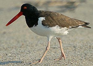 American oystercatcher - On the Atlantic coast, New Jersey, USA