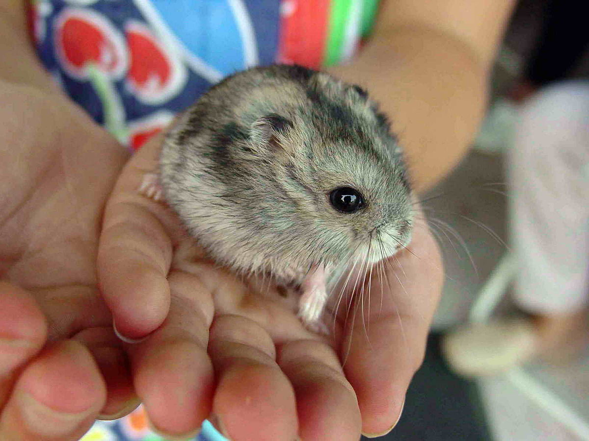 hamster - Wiktionary