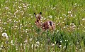 Hare in the dandelions - geograph.org.uk - 806427.jpg