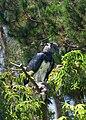 Harpia harpyja -San Diego Zoo-8a.jpg