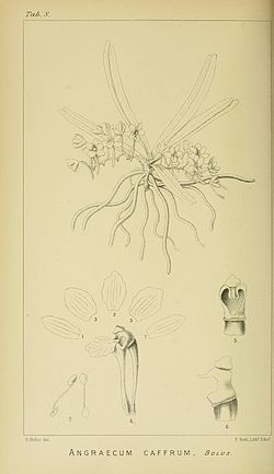 Harry Bolus - Orchids of South Africa - volume I plate 008 (1896).jpg