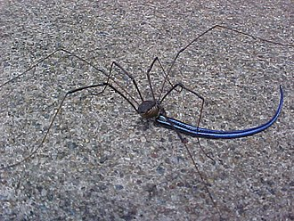 Opiliones anatomy - Harvestman eating a skink tail