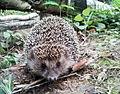 Hedgehog in Biryulyovskiy Arboretum.jpg
