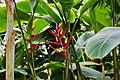 Heliconia subulata (49370847491).jpg
