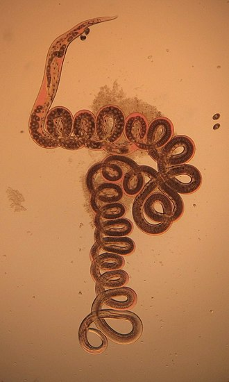 Heligmosomoides polygyrus - Female H. polygyrus from the digestive tract of a woodmouse