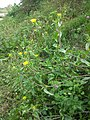 Helminthotheca echioides sl35.jpg