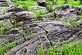 Herbes sur un affleurement rocheux dans le pâturage naturel de Samiondji (Covè).jpg