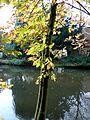 Herbstlaub am Teich.JPG