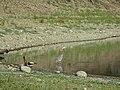 Heron Standing.jpg