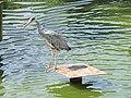 Heron du parc de Bercy.jpg