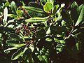 Heteromeles arbutifolia 3.jpg