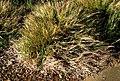 Heteropogon contortus (5187440583).jpg