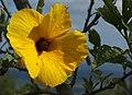 Hibiscus heterophyllus Flower.jpg