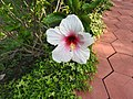 Hibiscus rosa sinensis hybrid-10-hanuman temple-muluvi-yercaud-salem-India.jpg