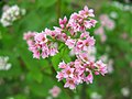 Hidaka Kinchakuda Buckwheat Flower 2.JPG