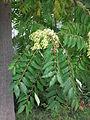 Himmelsbaum HD Früchte.JPG
