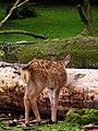 Hinterteil Kitz Sikahirsch Wildpark Alte Fasanerie Juni 2012.JPG