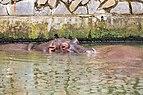 Hipopótamo (Hippopotamus amphibius), Zoo de Ciudad Ho Chi Minh, Vietnam, 2013-08-14, DD 07.JPG