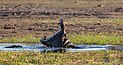 Hipopótamos (Hippopotamus amphibius), parque nacional de Chobe, Botsuana, 2018-07-28, DD 77.jpg