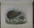 History of the birds of NZ 1st ed p358-2.jpg