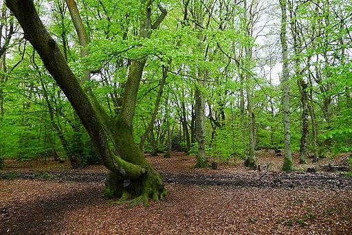 Hodgemoor Woods (13996111322)
