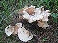 Hohenbuehelia angustata (Berk.) Singer 352277.jpg