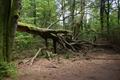Hoher Vogelsberg Breungeshainer Heide Geiselstein coarse woody debris.png