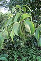 Holarrhena pubescens leaves and fruits at Blathur (2).jpg