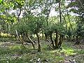 Holly pollards, near Holmsley inclosure, New Forest. - geograph.org.uk - 554596.jpg