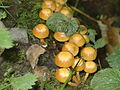 Honey Fungus LydfordGorge Devon UK.JPG