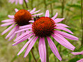 Honey bee on Echinacea purpurea-2.JPG