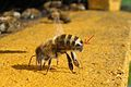 Honeybee-cooling cropped extra.jpg