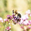 Honeybee (217348947).jpeg