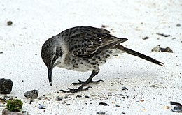 Hood Mockingbird (Nesomimus macdonaldi) -on ground.jpg