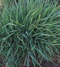 Hoog struisgras plant Agrostis gigantea