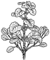 Horehound (PSF).png