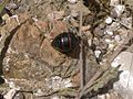 Hormiga o escarabajo?.jpg